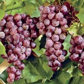 Sweet Seedless Table Grapes are winding down